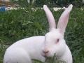 思麻兔价格