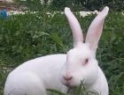 新西兰肉兔价格行情