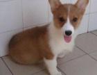 北京犬舍出售纯种威尔士柯基幼犬 黄白色宠物狗活体北京可送货