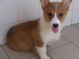 北京犬舍出售純種威爾士柯基幼犬 黃白色寵物狗活體北京可送貨