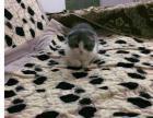 圆脸大眼猫猫送给爱猫人士 免费领养