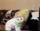 转让家养异国短毛猫加菲猫DDMM超萌