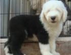 出售纯种古牧幼犬 白头齐肩通背 四蹄踏雪 纯种健康