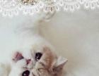 正规猫舍 专业名猫繁殖基地 出售 加菲猫 品质保障