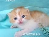 杭州南京苏州宁波网上买加菲金吉拉豹蓝暹罗无毛猫 双飞猫