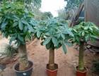 海口发财树 供应商 供应信息