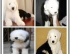 本地哪里有犬舍 白头古代牧羊犬