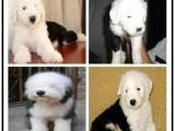 本地哪里有宠物店 白头古代牧羊犬