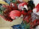 出售人工繁殖金剛鸚鵡 灰鸚鵡 葵花鸚鵡 亞馬遜鸚鵡 善學說話