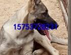 重庆狼青犬多少钱,怎么驯养小狼青犬,成年狼青犬借配出售