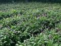 广西华夏本草集团白芨种植项目带您发家致富!