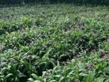 广西华夏本草集团白芨种植项目带您发家致富