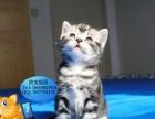 自家繁殖的小猫品相纹理,英短美短虎斑渐层,保健康