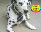 哪里有卖斑点狗的 斑点狗多少钱一只