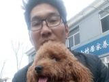 收购泰迪犬一只
