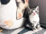 猫舍直销虎斑猫价格 虎斑猫多少钱一只 虎斑猫图