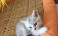 自家猫咪生产的银色渐层短毛