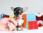 诚信交易 纯种吉娃娃幼犬 健康终身保障 签协议送狗用品