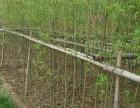 北京适合栽种什么竹子品种,早园竹,金镶玉竹,紫竹