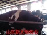 供应石家庄市鲁西黄牛养殖场、西门塔尔牛、河北省肉羊养殖