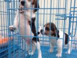 纯种比格犬 米格鲁/比格 猎兔犬出售比格幼犬比格犬米格鲁狗狗