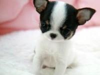 广州哪有吉娃娃犬卖 广州吉娃娃犬价格 广州吉娃娃犬多少钱