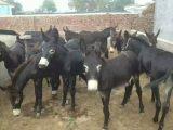 肉驴养殖基地山东友民牧业