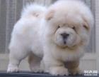 出售赛级肉嘴松狮幼犬包健康保证雪白毛色可上门挑选