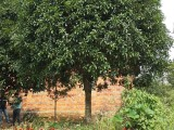 大量出售银杏树30公分