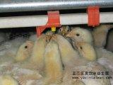 家禽饮水益生菌 益生菌添加剂 高活性乳酸菌 定植能力强
