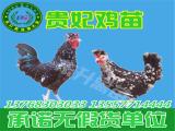 为您推荐销量好的贵妃鸡苗 -贵州特禽种苗供应商