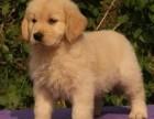 南京纯种金毛价格 南京哪里能买到纯种金毛犬
