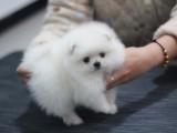杭州什么地方有狗场卖宠物狗/杭州哪里有卖博美犬
