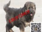 纯种高加索幼犬多少钱 高加索犬价格图片 高加索犬训练
