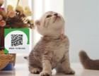 天津哪里有卖折耳猫 天津出售折耳猫 天津折耳猫买卖