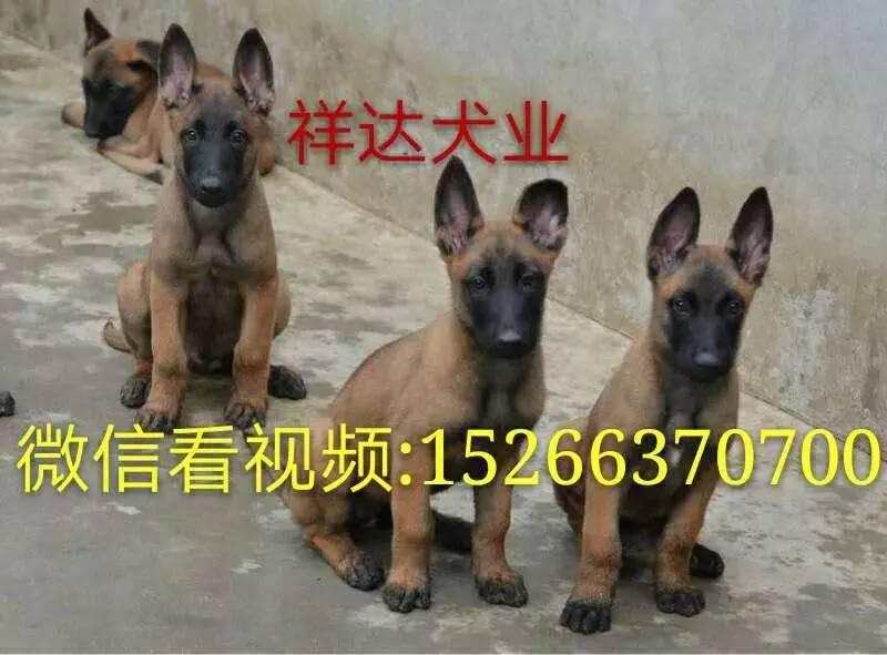 纯种马犬 马犬训练教程 马犬价格 马犬猎犬