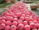 供应大量红富士苹果