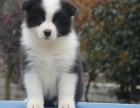 出售自家繁育的纯种健康边牧幼犬,包健康纯种养活!