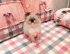 哈尔滨哪里有正规宠物店买卖布偶猫 哈尔滨较便宜布偶猫多少钱