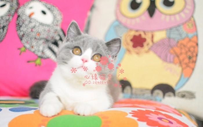 南京哪里有正规宠物店买卖蓝猫 南京较便宜蓝猫多少钱