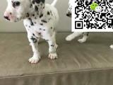 哪里有卖斑点狗的 怎么才能买到纯种健康的斑点狗