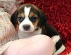 南京本地犬舍出售纯种幼犬,比格犬,保证健康,血统纯正,