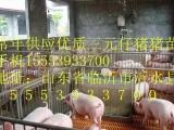 小猪苗基地报价/山东三元仔猪价格