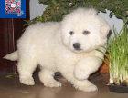 出售纯种大白熊宝宝,毛色漂亮活泼可爱,疫苗齐全