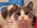 英国短毛猫 活体 幼猫纯种家养健康宠物猫活体 英短加白猫