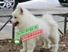 本地萨摩耶犬幼犬活体家养纯种纯白雪橇犬微笑天使中型宠物狗狗