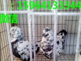 丽江公斤元宝鸽价格圆环元宝鸽多少钱一对
