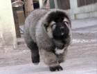 犬舍专业繁殖高加索犬巨型大骨架 包纯种健康养活