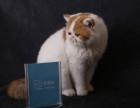 脸猫网 异国短毛猫大种公出售