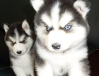 精品纯种哈士奇幼犬,包犬温细小,签订终身纯种健康